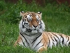 bizwebsolutions Tiger